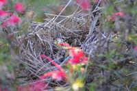 New Holland Honeyeater nest - Berringa Sanctuary