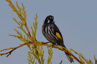 New Holland Honeyeater The Block Berringa.