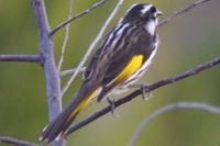 New Holland honey eater The block Berringa.
