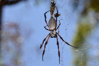 Orb Weaving Spider - Yanchep National Park - W.A