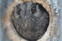 Owlet Nightjar - Berringa Sanctuary