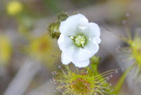 Pale Sundew - Berringa Sanctuary