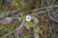 Pale Sundew - Berringa Sanctuary