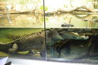 Perth Zoo - Estuarine Crocodile - W.A
