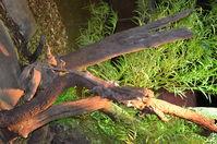 Perth Zoo - Frill - Necked Lizard - W.A