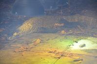 Perth Zoo - Komodo Dragon - W.A