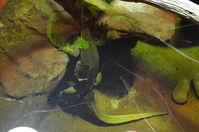 Perth Zoo - Mertens Water Monitors - W.A