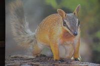 Perth Zoo - Numbat - W.A