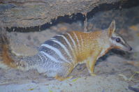 Perth Zoo - Numbat - W.A