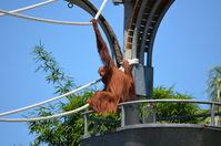 Perth Zoo - Orangutan - W.A
