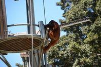 Perth Zoo -Orangutan - W.A