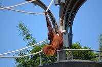 Perth Zoo - Orangutan -W.A