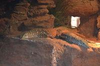 Perth Zoo - Perentie - W.A