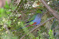 Perth Zoo - Red - Capped Parrots - W.A