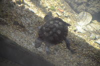 Perth Zoo - Western Swamp Turtles - W.A