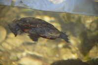 Perth Zoo - Western Swamp Turtles - W.A