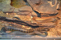 Perth Zoo - Western Tiger Snakes - W.A
