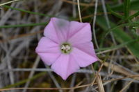 Pink Bindweed - Berringa Sanctuary