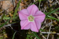 Pink Bindweed - Berringa Sanctuary