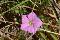 Pink Bindweed - The Block Berringa