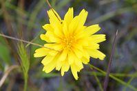 Plains Yam Daisy - The Block Sanctuary Berringa