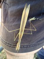 Pray Mantis - Berringa Sanctuary