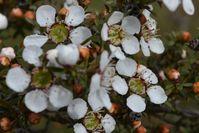 Prickly Tea Tree - The Block Sanctuary Berringa