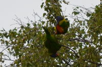 Rainbow Lorikeet - Berringa Sanctuary