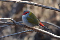 Red Browed Finch - The Block Berringa