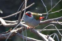 Red Browed Finch - The Block Berringa