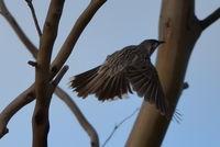 Red Wattle Bird - Berringa Sanctuary