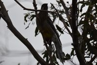 Red Wattlebird - Berringa Sanctuary