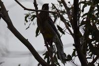 Red Wattlebird - Berringa Sanctuary