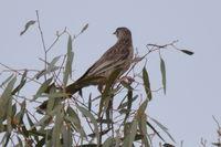 Red Wattle Bird - Berringa Sancuary