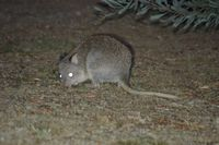 Rufous Bettong - Mt Rothwell