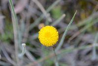 Scally Button - Berringa Sanctuary