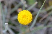 Scaly Button - Berringa Sanctuary