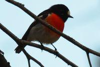 Scarlet Robin - The Block Berringa