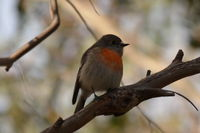 Scarlet Robin female The Block Berringa