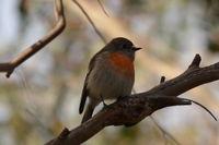 Scarlet Robin female The Block Berringa