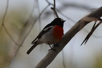 Scarlet Robin male The Block Berringa