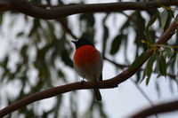 Scarlet Robin male The Block Berringa