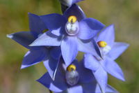 Scented Sun Orchid - Berringa Block
