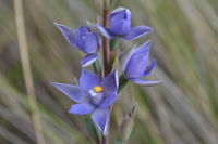 Scented Sun-Orchid - Berringa Sanctuary