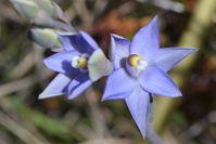 Scented Sun-Orchid - Berringa Sanctuary