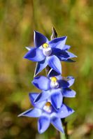 Scented Sun Orchid - Berringa Sanctuary