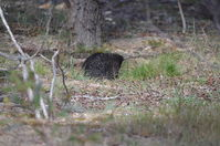 Short Beaked Echidna - Berringa Sanctuary