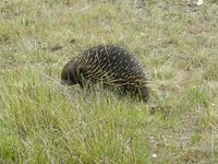 Short Beaked Echidna - The Block Berringa