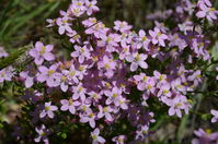 Slender Speedwell - Berringa Sanctuary
