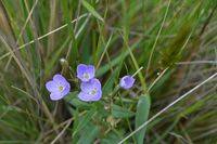 Slender Speedwell - Berringa Sanctuary